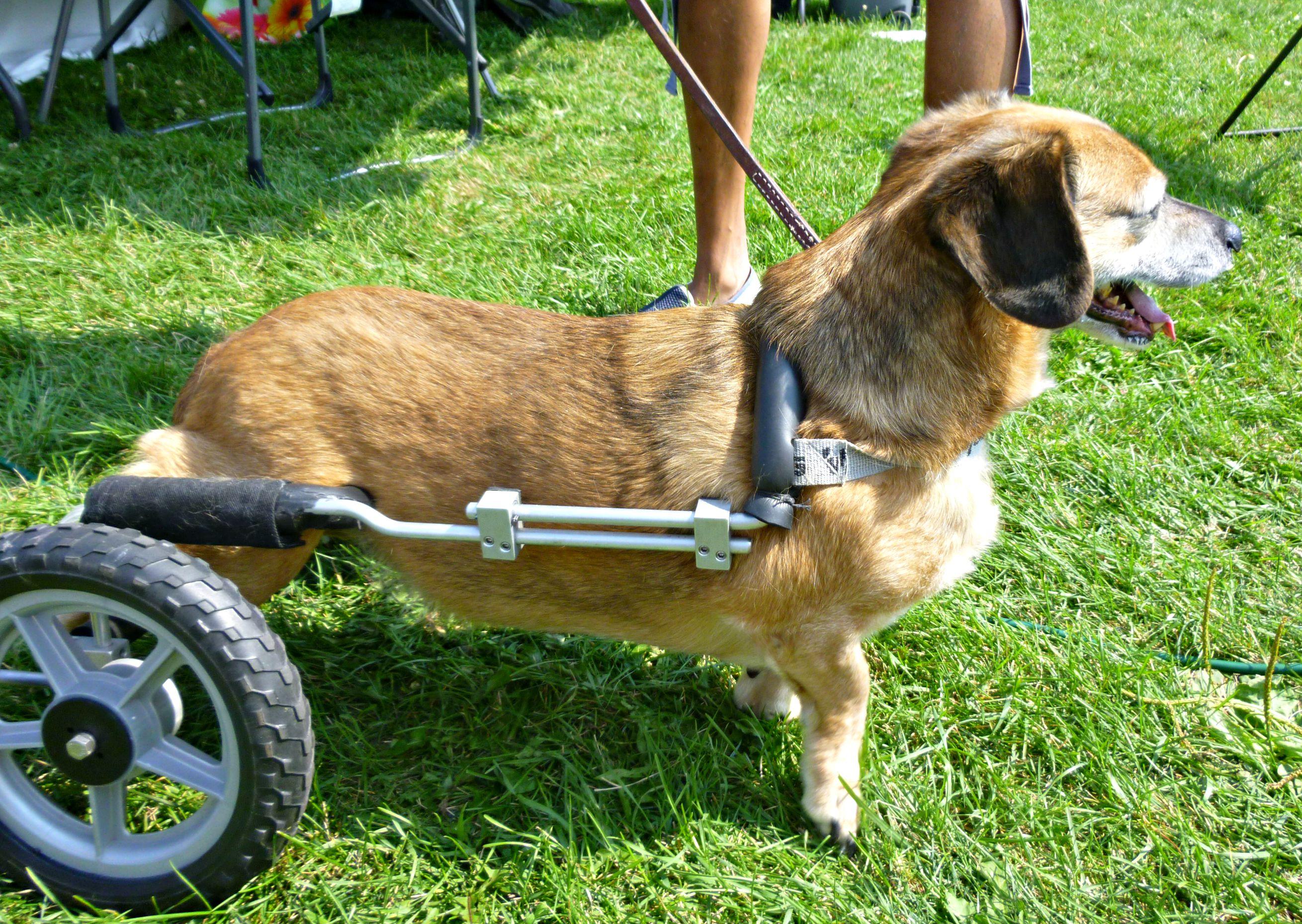 Dog in wheel chart at Weinerpawlooza 2015