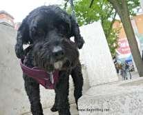 dog on a bench at Supercrawl