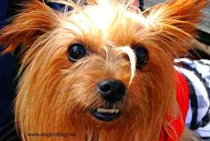 woofstock 2015 little dog dogtrotting.net