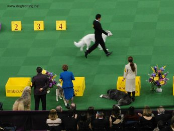 ring side WKC Dog Show NYC