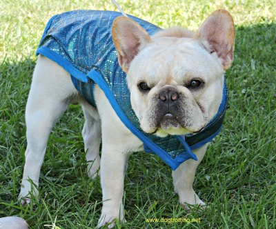 Frenchie at dog show