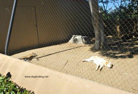 San Diego dog and cheeta