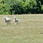 sheep at National Sheep Dog Trials, Kingston, Ontario