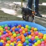 dog at ball pit at dogtoberfest