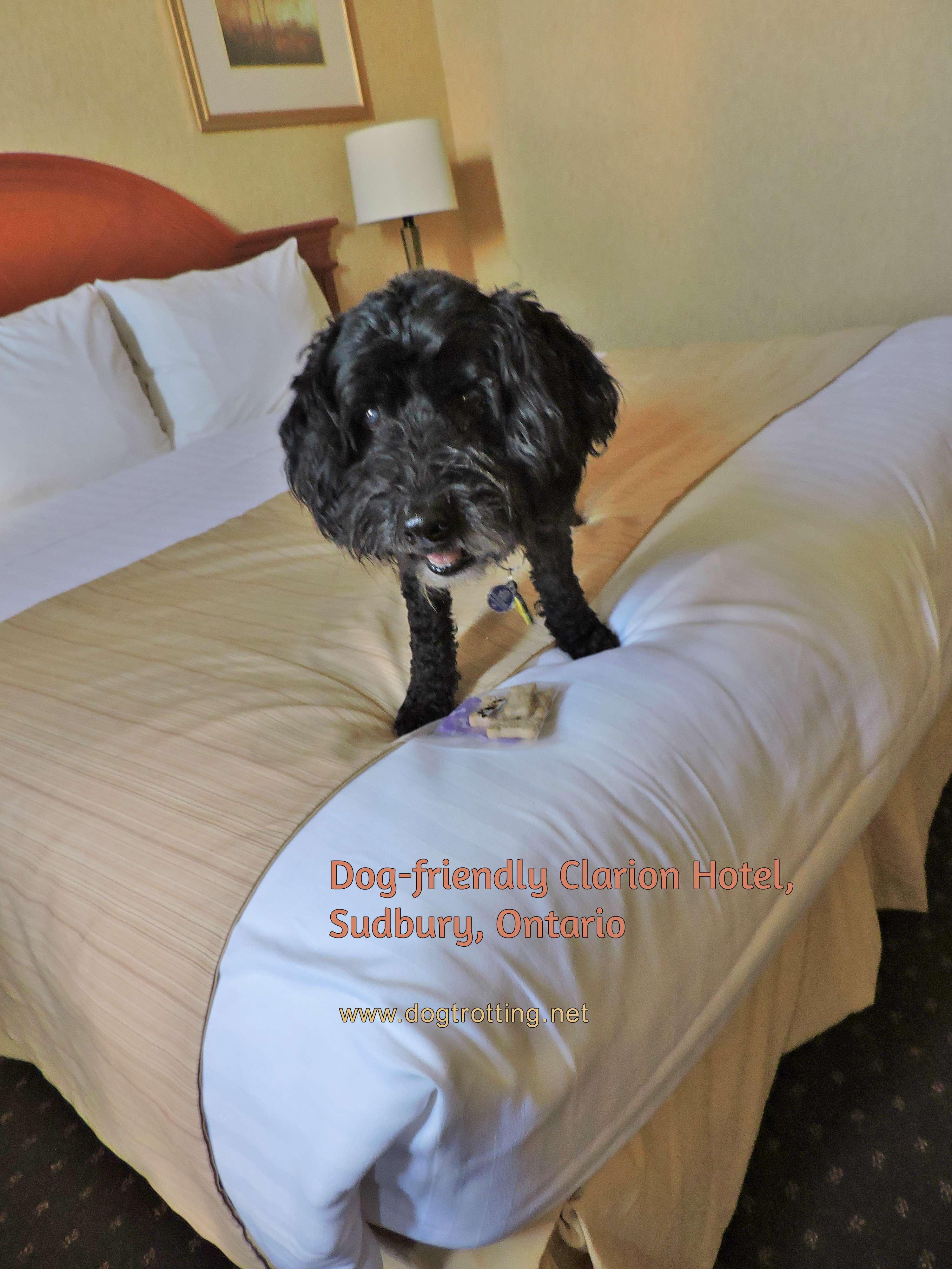 Dog at Clarion Hotel Sudbury Ontario