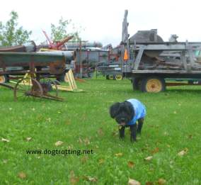 dog in a field with antique farm equipment