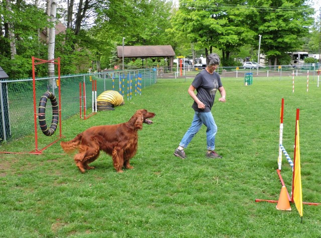 Irish Setter at the Dog agility course at KOA Holiday dog-friendly campground in Sault Ste. Marie Ontario