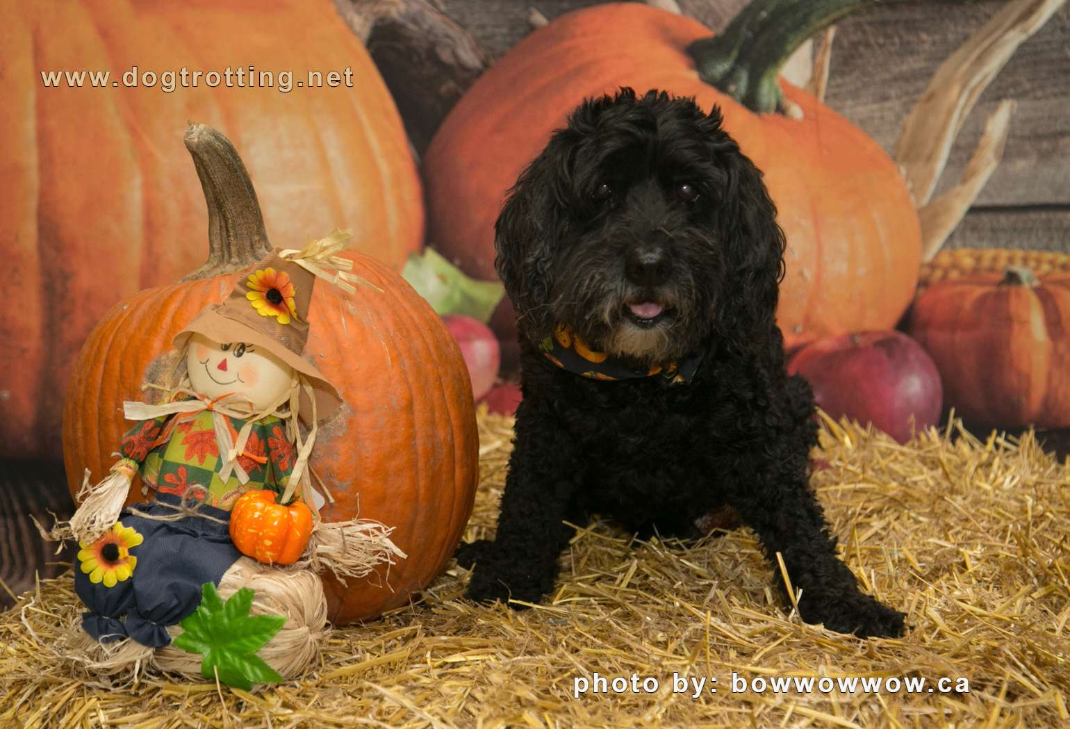 cute black dog with pumpkin