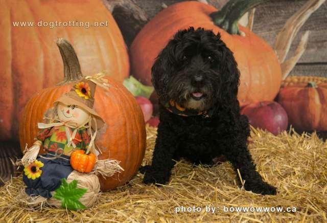 cute black dog with pumpkin
