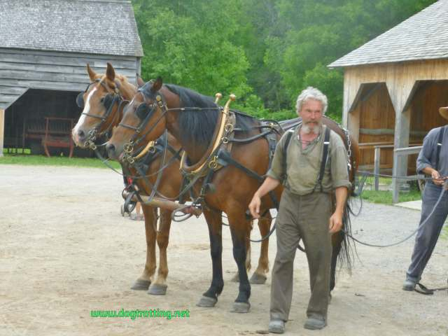 Canadian horses and handler at dog-friendly Upper Canada Village