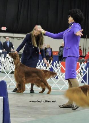 Irish Setter at The Michigan Winter Dog Classic dog show