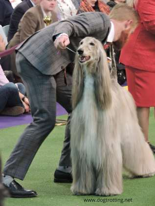 Show afgan dog being show by handler at Westminster Dog Show 2020