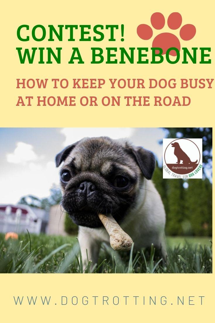 pug dog promoting dog chew contest