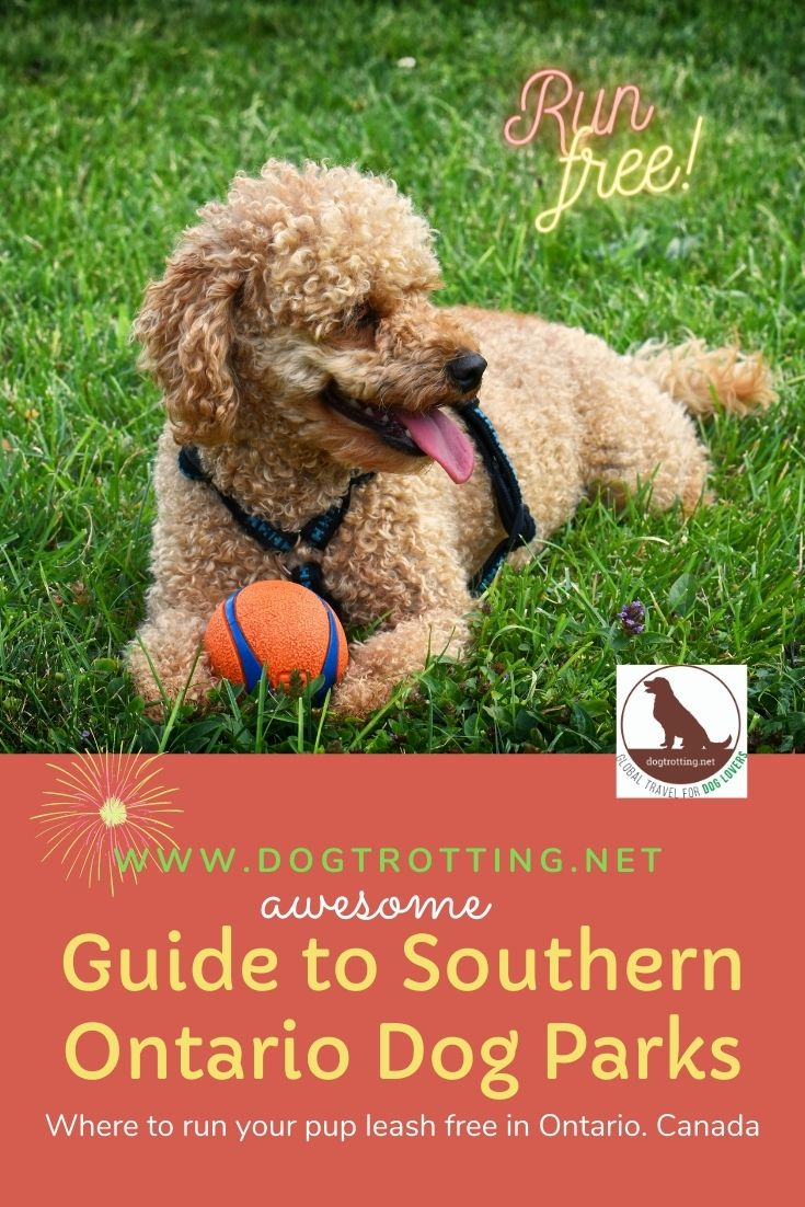 beige poodle with orange ball - Awesome Guide to Southern Ontario Dog Parks