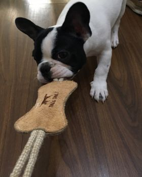 black and white French Bulldog pulling toy