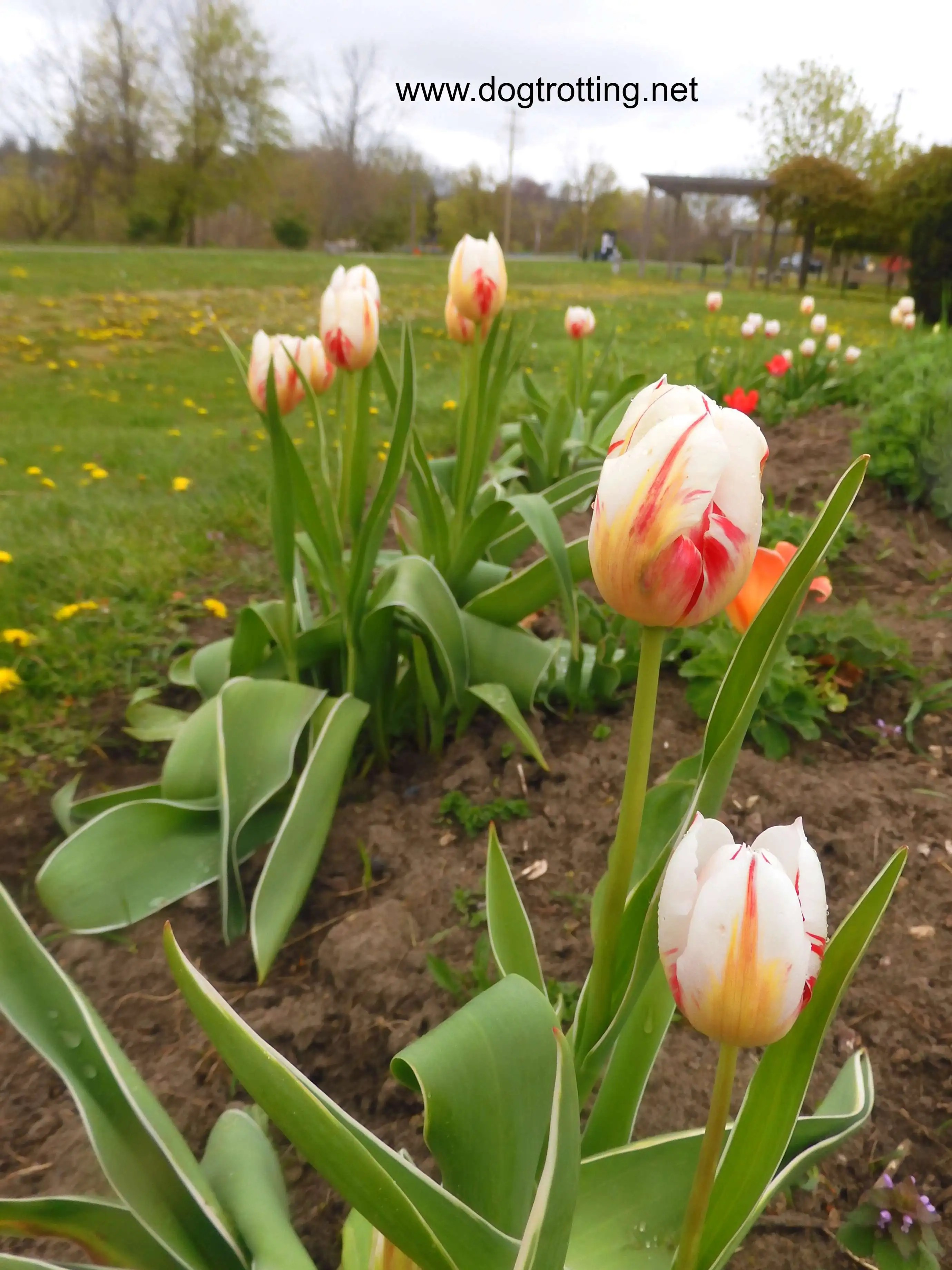 Tulips along Shadow Lake Trail, Waterford, Ontario, Norfolk County