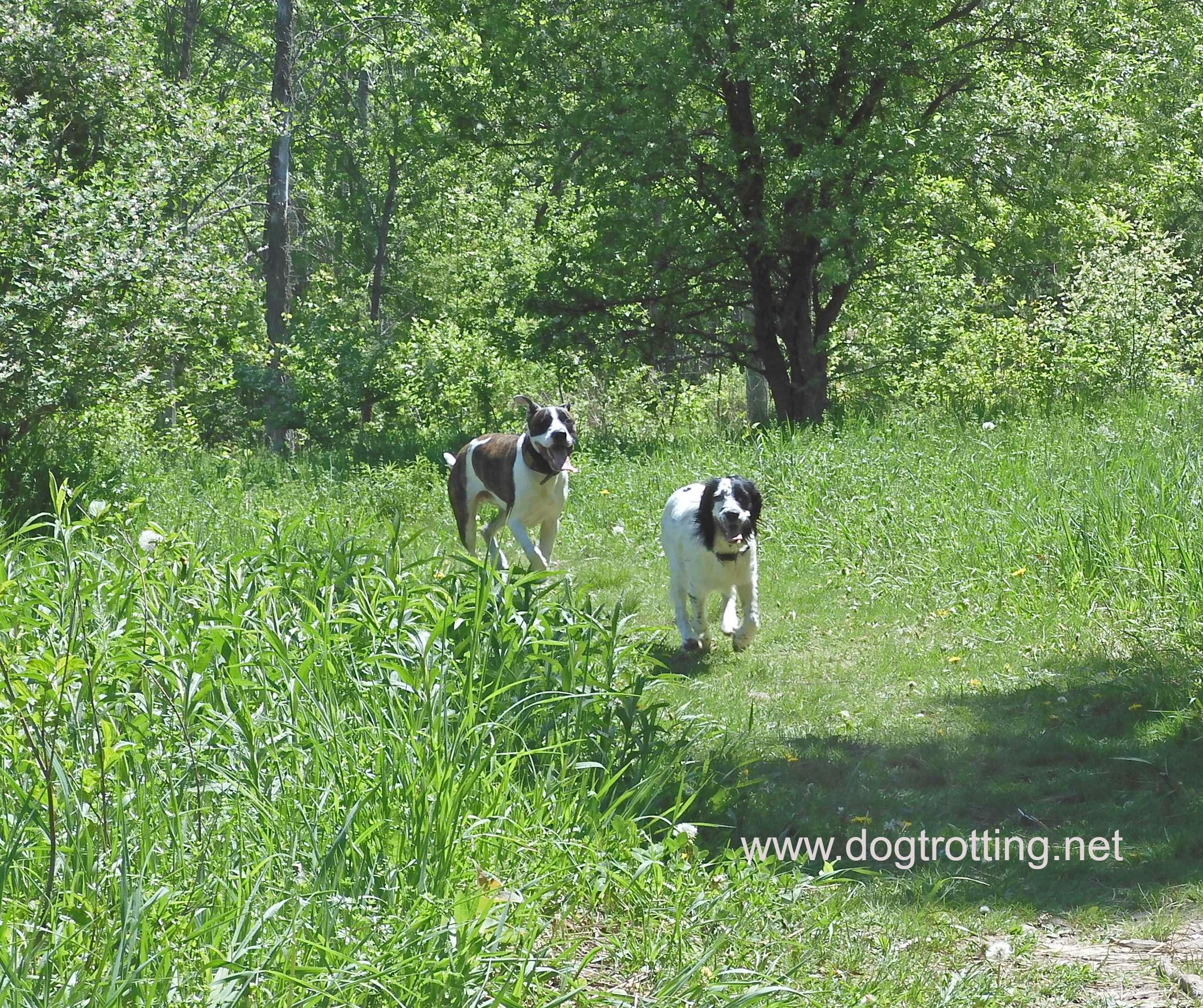 big dog running after little white and black dog off leash in Howler's Park dog park