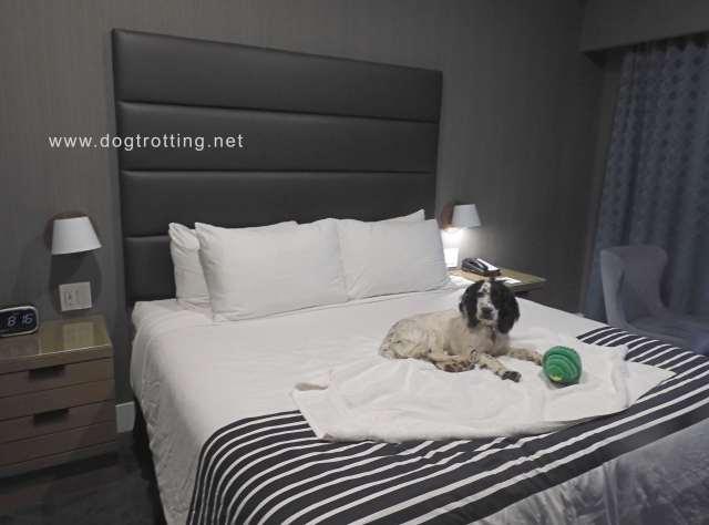 Black and white dog at pet friendly Sandman Hotel Ottawa Ontario