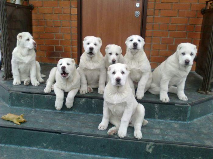 Как правильно выбрать щенка алабая Плюсы и минусы породы
