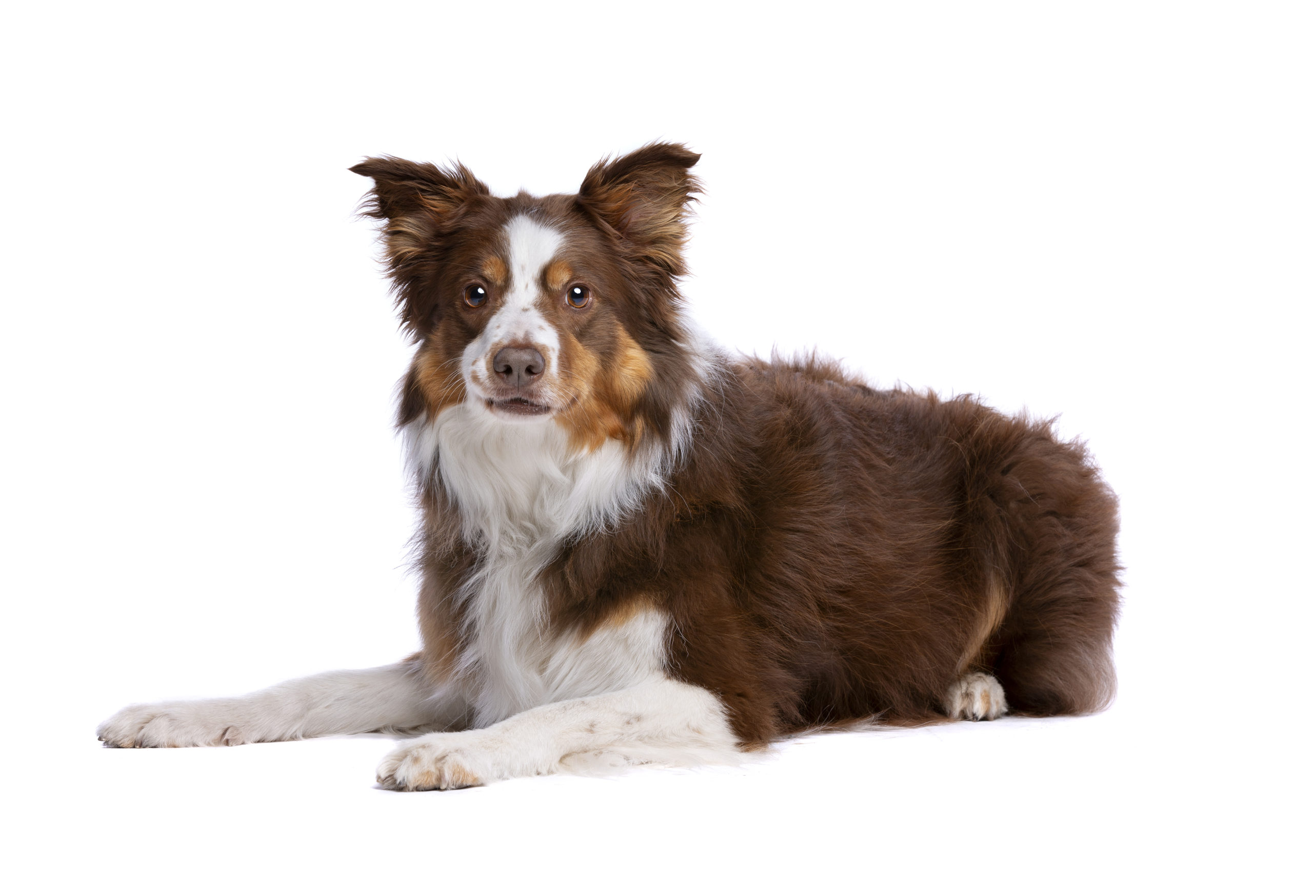 Tri colour border collie lying down in front of a white background