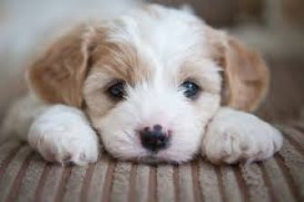 Puppy resting his head between his paws