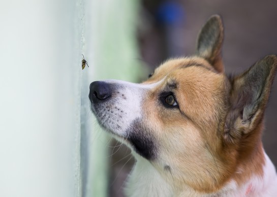 Nosey dog investigating a wasp.