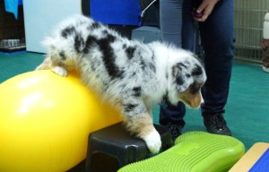 Dog stepping off of a yellow exercise ball onto other items