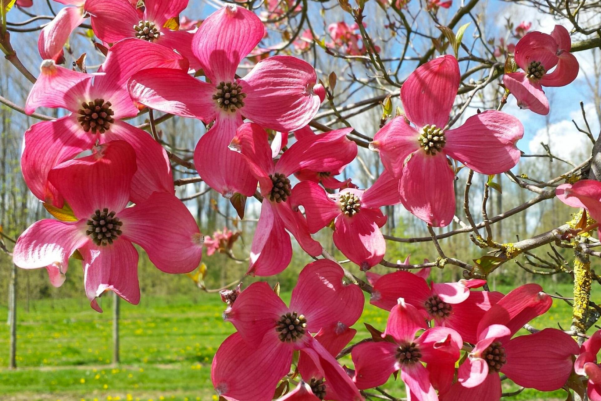 Tree Detail Red Florida Dogwood Dogwood Hills Tree Farm