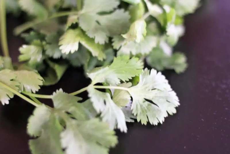 Cilantro is an easy annual herb to grow in the garden.