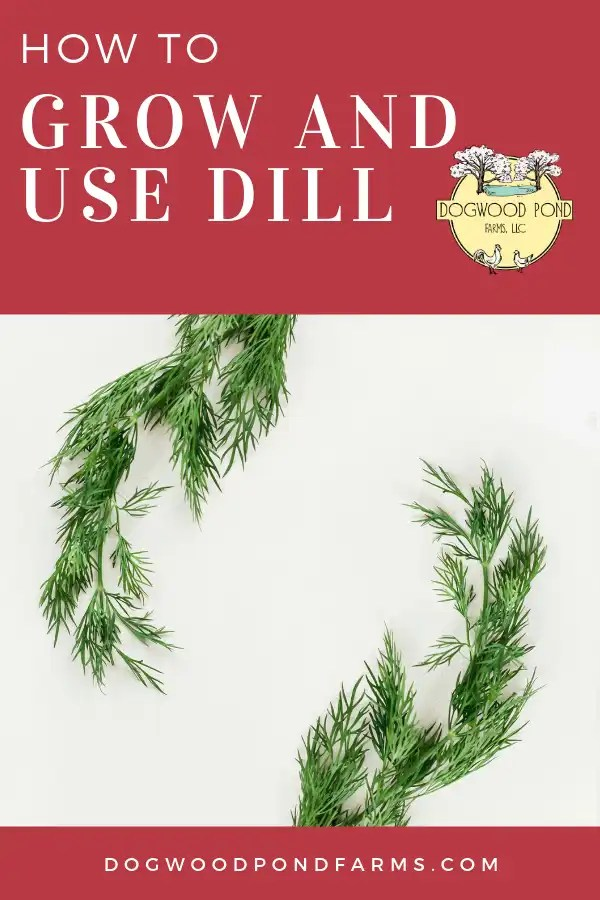 Dill is an easy herb to grow in your garden. Great for homemade pickles!