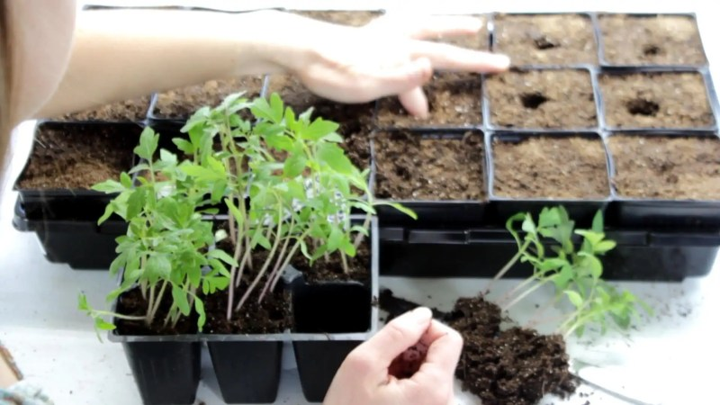 Transplant seedlings to larger pots for maximum growth