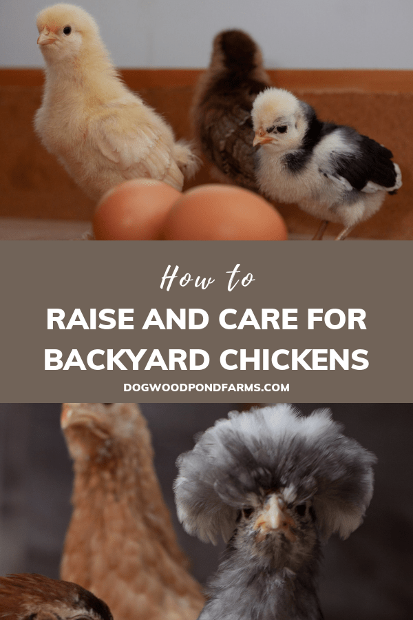 How to Raise and Care for Backyard Chickens