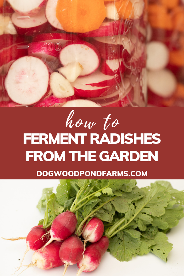 lacto fermenting radishes