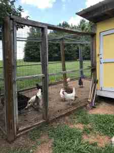 Chickens playing in their enclosed run.