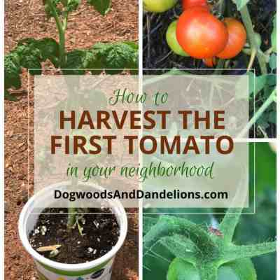 How to harvest the first tomato in your neighborhood