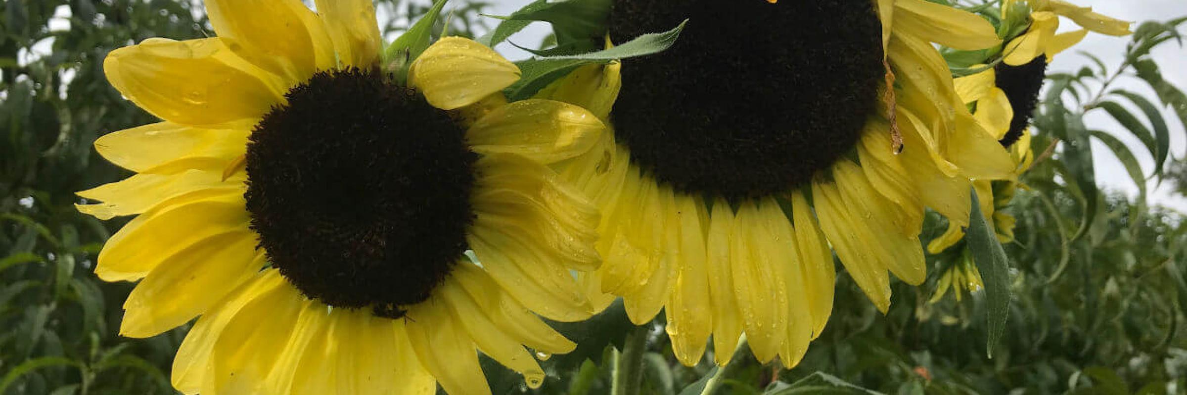 Garden sunflowers 2018
