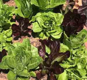 Why garden? Lettuce growing in the garden