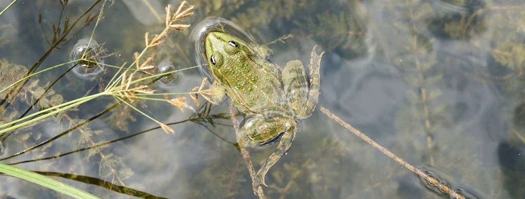 help disappearing frogs by creating a garden pond