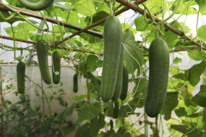 107690127-56a6d33a3df78cf772906fef | Как правильно выращивать огурцы