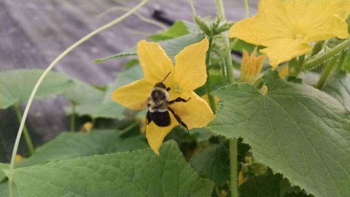 a-bumble-bee-apidae-is-visiting-on-a-cucumber-fl-1 | Как правильно выращивать огурцы