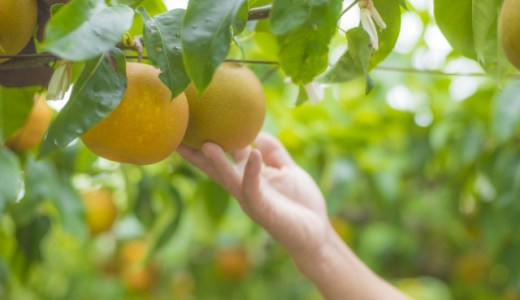 群馬の梨狩り食べ放題はある?里見梨の値段やおすすめ情報紹介!