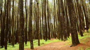 Hutan Pinus Mangunan Hutan Pinus Mangunan Cover - Dolan Dolen