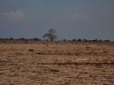taman nasional baluran banyuwangi, afrika-nya pulau jawa (54)