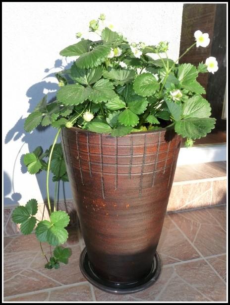 Erdbeere Pflanzen Balkon