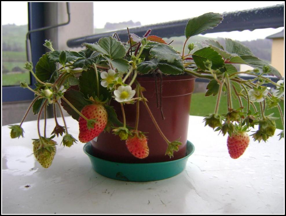 Erdbeeren Auf Dem Balkon Pflege