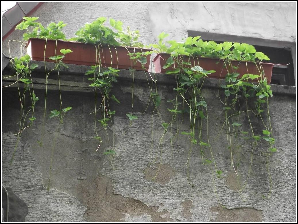 Erdbeeren Auf Dem Balkon Züchten