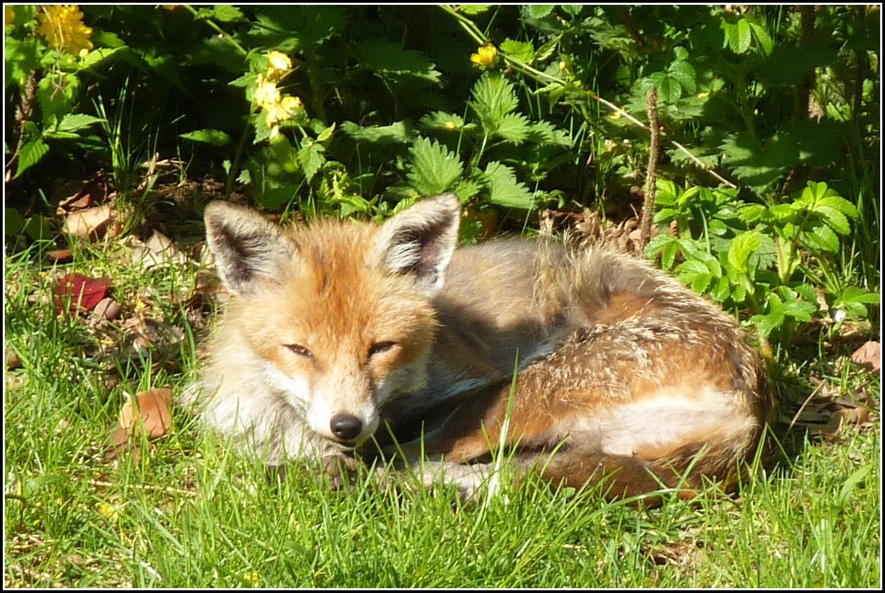 Fuchs Im Garten Gefährlich