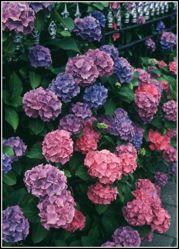 Hortensien Im Garten Düngen