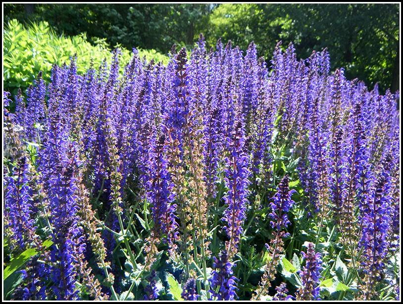 Salbei Garten Pflanzen