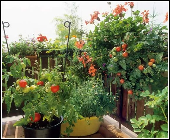 Tomaten Anbauen Balkon Anleitung